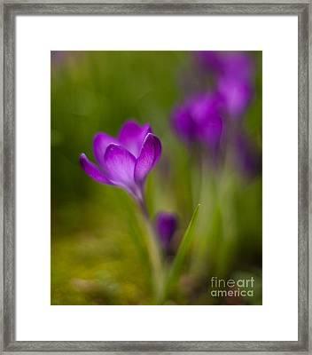 Delicate Crocus Light Framed Print