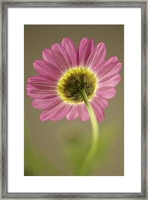 Delicate Daisy Framed Print