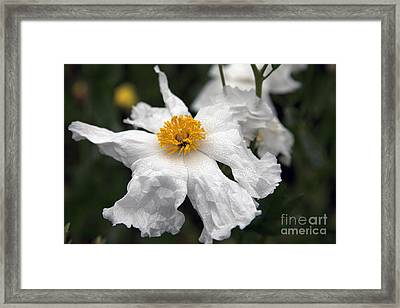 Delicate Dew Framed Print by Amanda Barcon