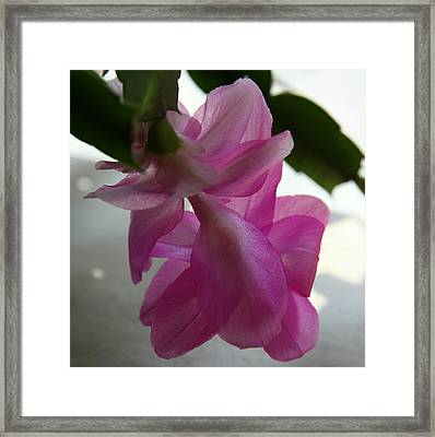 Delicate Easter Cactus  Framed Print by Christiane Schulze Art And Photography
