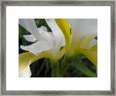 Delicate Iris Framed Print