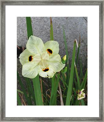 Delicate Iris Framed Print by Tom Hefko