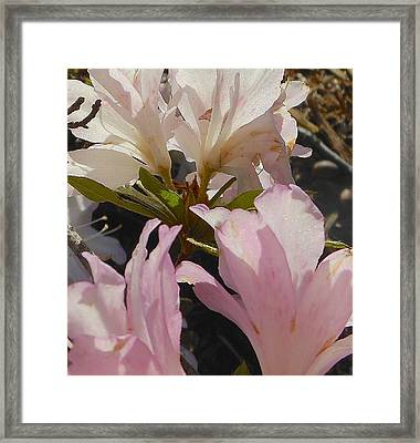 Delicate Ones Framed Print by John Norman Stewart