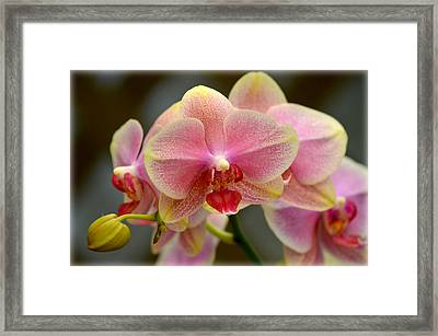 Framed Print featuring the photograph Delicate Orchids by Amanda Vouglas