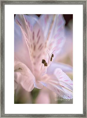 Delicate Peruvian Lily Framed Print
