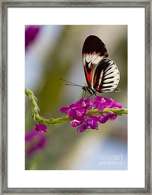 delicate Piano Key Butterfly Framed Print