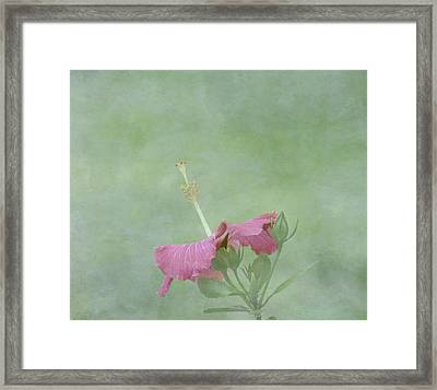 Delicate Pink Hibiscus Flower Framed Print