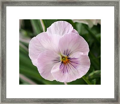 Delicate Pink Pansy Framed Print