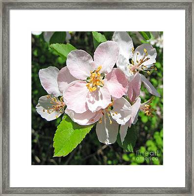 Delicate Pink's 2 Framed Print by Cedric Hampton