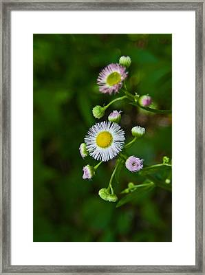 Framed Print featuring the photograph Delicate Pla 528 by G L Sarti