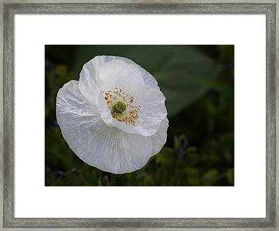 Framed Print featuring the photograph Delicate Poppy by Inge Riis McDonald