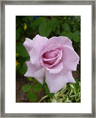 Framed Print featuring the photograph Delicate Purple Rose by Lingfai Leung