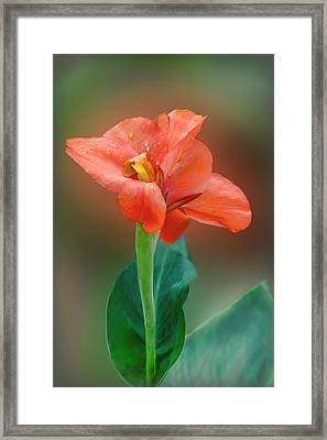 Delicate Red-orange Canna Blossom Framed Print by Linda Phelps