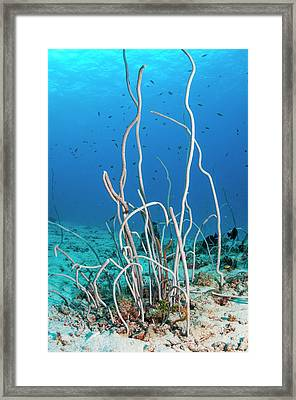 Delicate Sea Whips Framed Print by Georgette Douwma