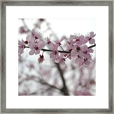 Delicate Spring Framed Print by P S