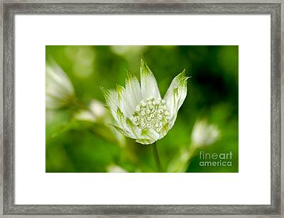 Delicate Spring Time Flower Framed Print
