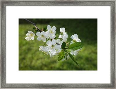 Delicate Springtime Framed Print by Ari Salmela