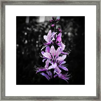 Delicate Violet Framed Print