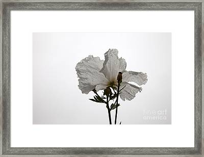 Delicate White 2 Framed Print by Amanda Barcon