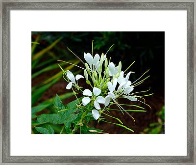 Delicate White Beauty  Framed Print by Judith Russell-Tooth