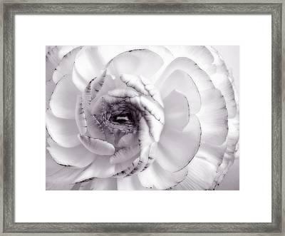 Delicate - White Rose Flower Photograph Framed Print
