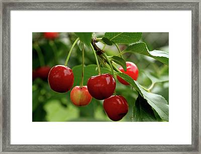 Delicious Cherries Framed Print by Sandy Keeton
