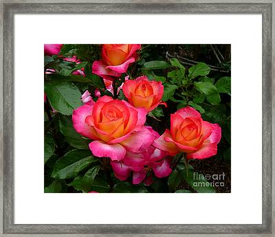 Delicious Summer Roses Framed Print by Richard Donin