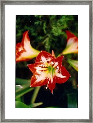 Delightful Amaryllis  Framed Print