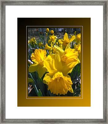 Delightful Daffodils Framed Print by Patricia Keller