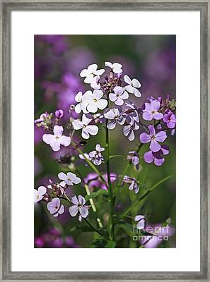 Delightful Summer Phlox In A Meadow Framed Print