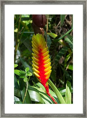 Delray Bromeliad Plant  Framed Print by Douglas Barnett