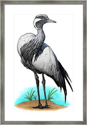 Demoiselle Crane, Illustration Framed Print