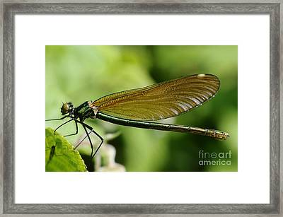 Demoiselle Framed Print by Jenny Potter