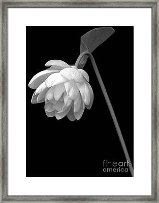 Demure Lotus Framed Print