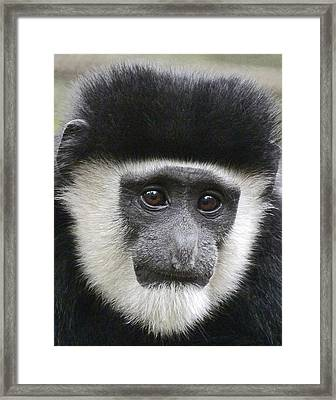 Demure Young Black And White Colobus Framed Print