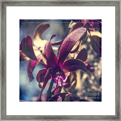 Dendrobium Black Spider Orchid Hawaii Framed Print by Sharon Mau
