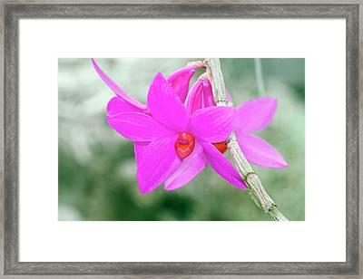 Dendrobium Glomeratum 'qingyu' Framed Print by Sam K Tran/science Photo Library