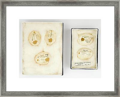Dendrocygna Arcuata Australia Eggs Framed Print by Natural History Museum, London