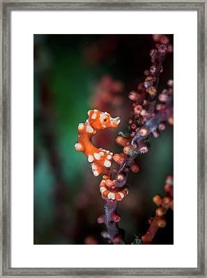 Denise's Pygmy Seahorse Framed Print by Ethan Daniels