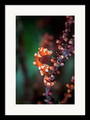 Pygmy Seahorse Framed Prints