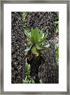 Dense Forest Of Giant Groundsel, Tree Framed Print