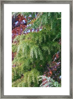 Deodar Cedar (cedrus Deodara) Framed Print by Dr. Nick Kurzenko