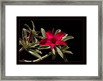 Desert Azalea Framed Print