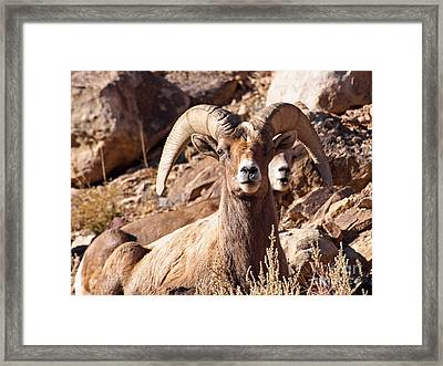 Desert Bighorn Sheep Framed Print
