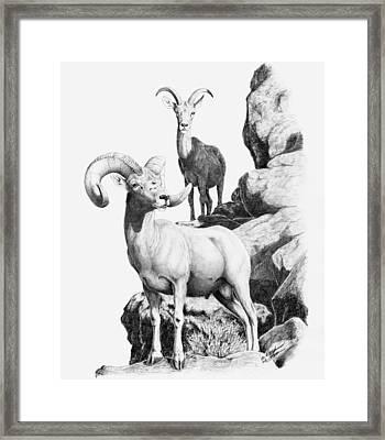 Desert Bighorns Framed Print