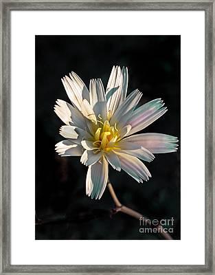 Desert Chicory Framed Print by Robert Bales