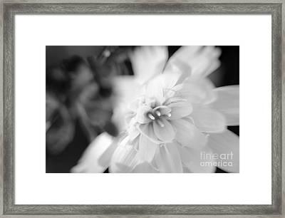 Desert-chicory Framed Print
