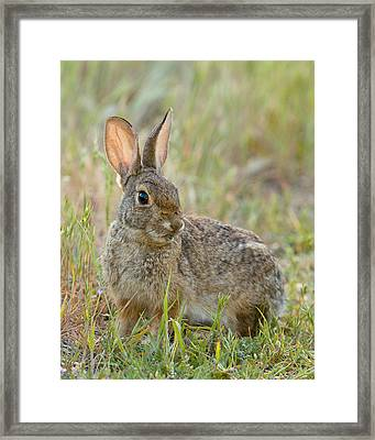 Framed Print featuring the photograph Desert Cottontail by Doug Herr