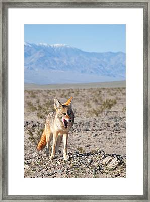 Desert Coyote Framed Print