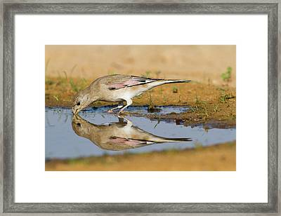 Desert Finch (carduelis Obsoleta) Framed Print by Photostock-israel